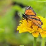 A monarch butterfly perches on a flower on July 18, at Charlotte Rhoades Garden and Butterfly Park in Southwest Harbor.