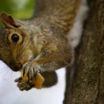 A squirrel munches a piece of bread after taking it from man's hand in Deering Oaks Park in Portland.