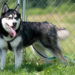 Judge agrees to deal that allows pardoned husky to live