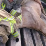Ashley Norman's horse, Yukon, lays on its side after falling partway through a bridge in Hudson on Sunday.
