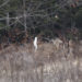 Four white-tailed deer gather at the edge of the woods in a field in on March 10, in the Central Penjajawoc Preserve in Bangor.