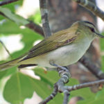 Red-eyed vireos never know when to shut up. Even when other birds have gone silent, you can often hear them.