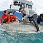 University of New England researcher James Sulikowski examines a tiger shark. UNIVERSITY OF NEW ENGLAND PHOTO COURTESY OF MAINE PUBLIC