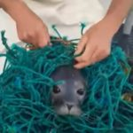 A pair of Maine fishermen rescued a young seal that became tangled in fishing gear.