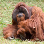 Zoo Atlanta photo shows Chantek the orangutan after the passing of the male orangutan who was among the first apes to learn sign language, in this photo released on social media in Atlanta, Georgia, Aug. 7, 2017.