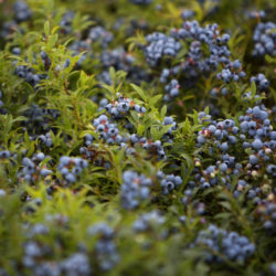 Although Maine blueberry growers have had a string of bumper crops in recent years, as shown in this 2016 photo, this year's growing season is expected to produce a smaller crop.