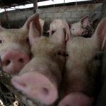 Pigs are pictured at a pig farm in Ciudad Juarez, Mexico, July 24, 2017.