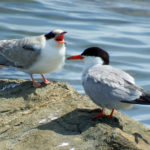A common tern chick (left) lets its parent hear about its displeasure.