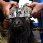 A crown is affixed to a wild goat as it is crowned King Puck and set to be held on a platform above the town for three days in Killorglin, Ireland August 10, 2017. You will never see this on Rusty Metal Farm.