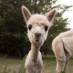 Three-week-old Rainey is the newest addition to the hurd at the Blue Alpaca Ranch in Belfast.