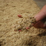 Joshua Buck holds germinated barley at Maine Malt House in Mapleton on July 31.