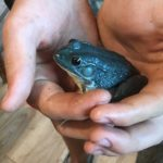 Konor Dyer, 14, of Strong found this rare blue frog last week while looking for an entry for a frog jumping contest on Saturday organized by the Local Bull, a convenience store in Phillips.
