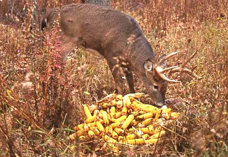 Bait deer and you'll never hunt again