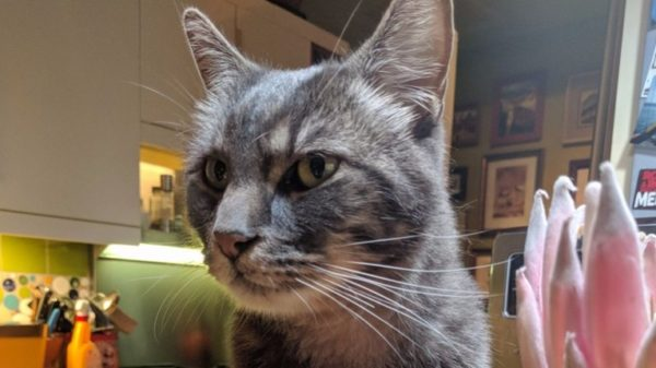 Missing For A Year This Maine Cat That Once Visited The Bushes - Missing cat gets found next to his own missing cat poster