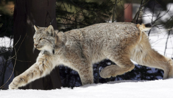Canada lynx may be taken off endangered species list