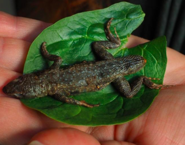 Woman prepares salad, sticks fork into 3-inch lizard