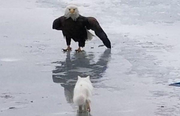 Cat vs. Eagle