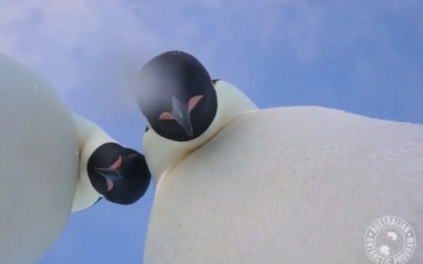 Curious penguins find camera, take selfie