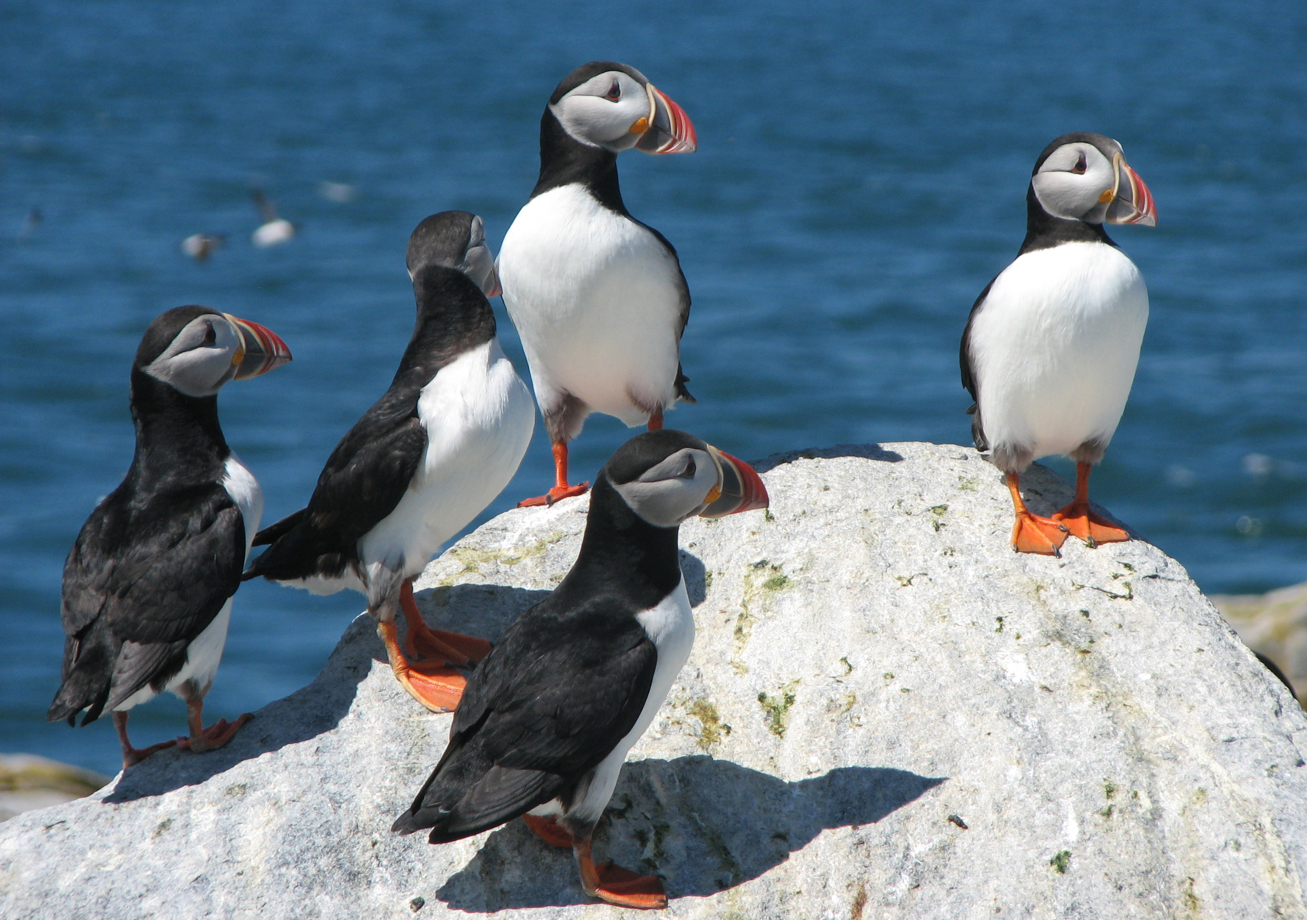a401e57ecfb0 Did you know that puffins have glowing bills  — Outdoors — Bangor ...