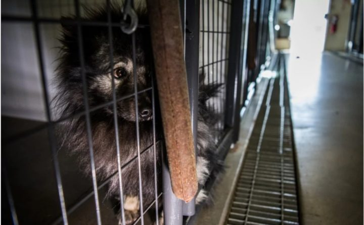 In growing movement, rescuers buying dogs at auction from