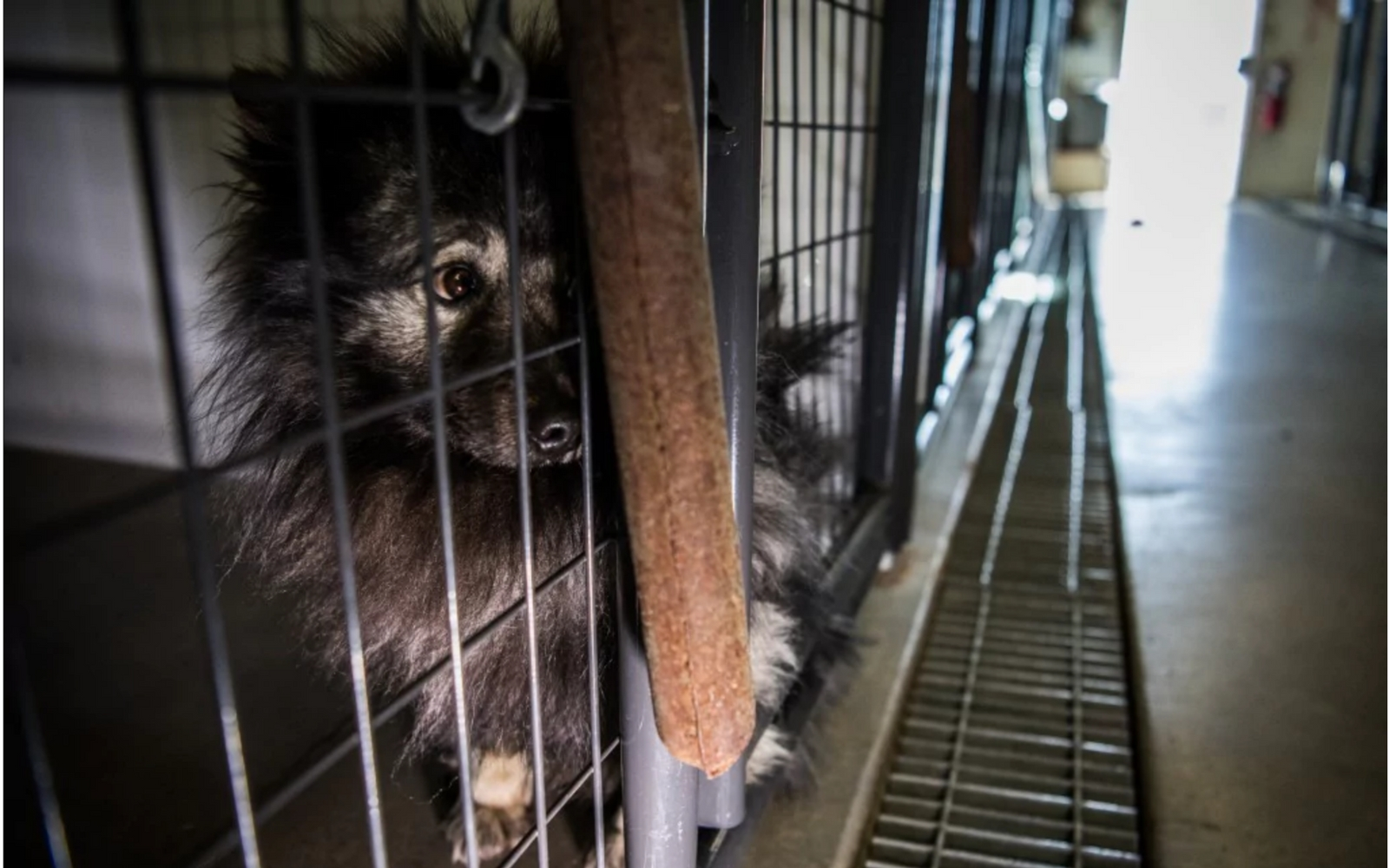 In growing movement, rescuers buying dogs at auction from breeders ...