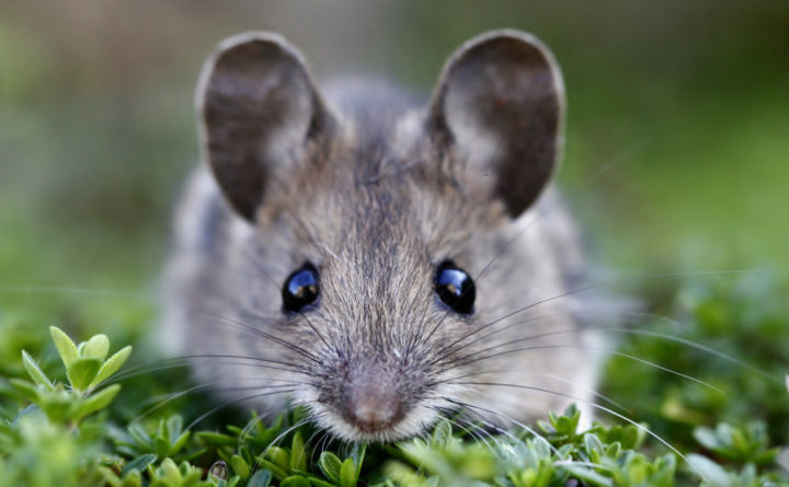 In 4 Mice In NYC Full Of Drug-Resistant Bacteria