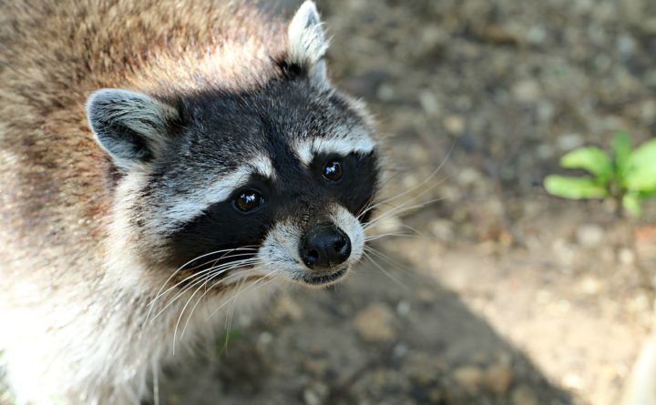 Superintendent recommends terminating Forest High teacher for drowning raccoons