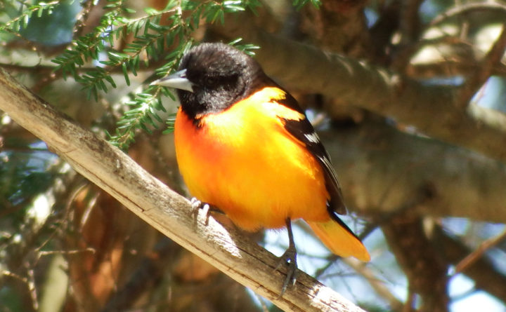 orioles hold their own in any bird beauty contest outdoors