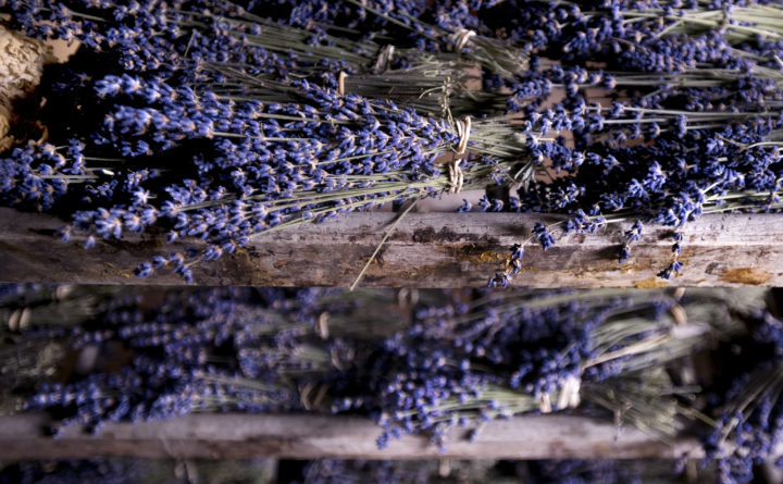 Fragrant lavender a growing crop for Maine farms — Homestead