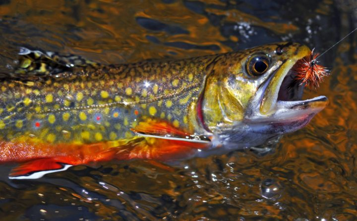 0214022152e25 We re guilty of underappreciating Maine s native brook trout ...