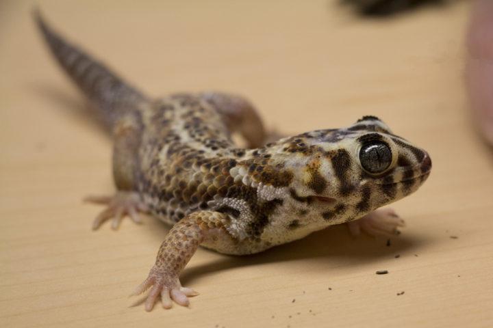 The lizard man of Maine keeps hundreds of geckos in his basement