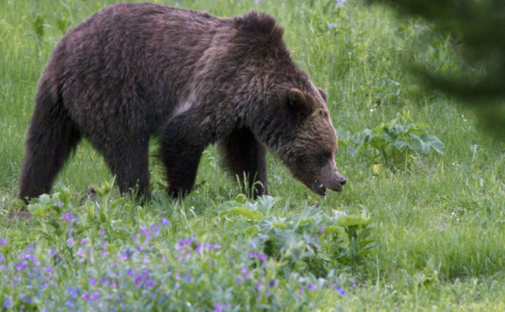 Officials kill two grizzlies in Wyoming after fatal attack