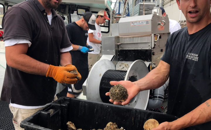 Why Maine lobstermen are looking to farmed scallops to stay