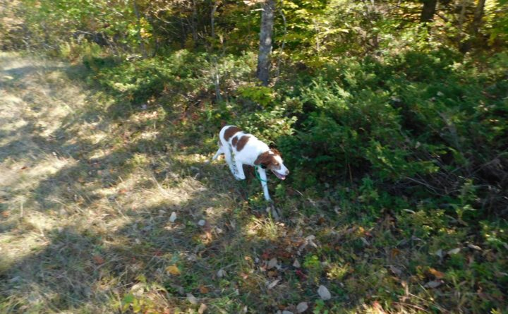 Image of: Field Trial Julie Harris Bdn Project Upland The Challenging Side Of Intelligent Bird Dogs Outdoors Bangor