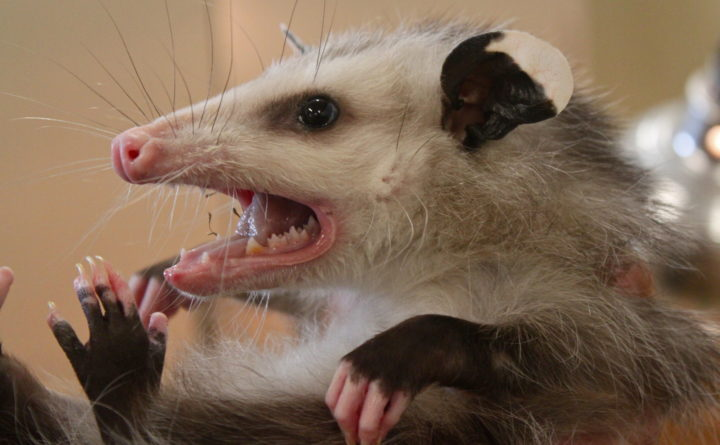Some say they're pests, but opossums can be helpful