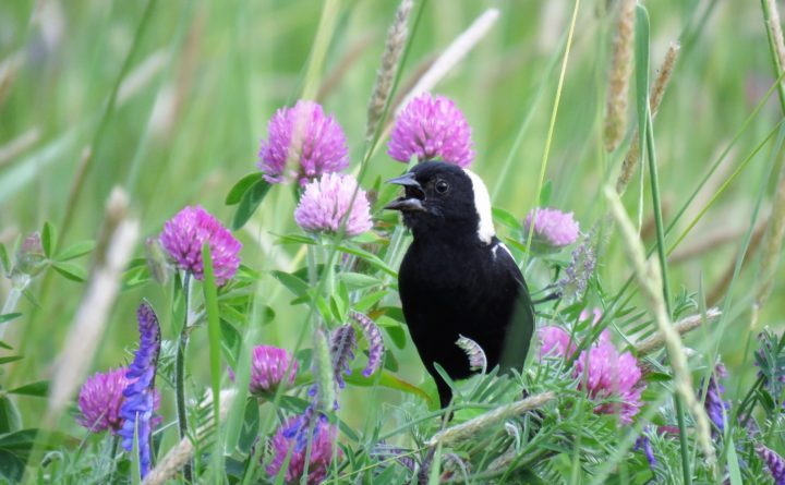Funding Available To Farmers To Delay Mowing To Protect Bobolinks