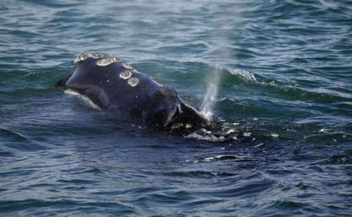 Rare baby right whale seen in Cape Cod Bay for first time in