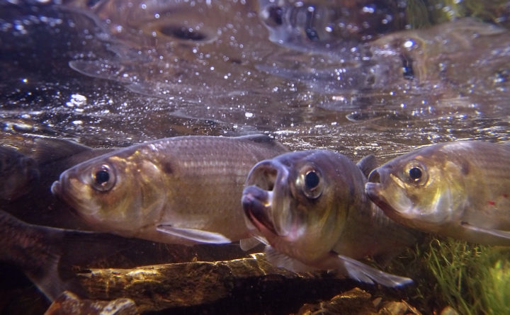 Alewives and salmon have arrived in Maine rivers  The
