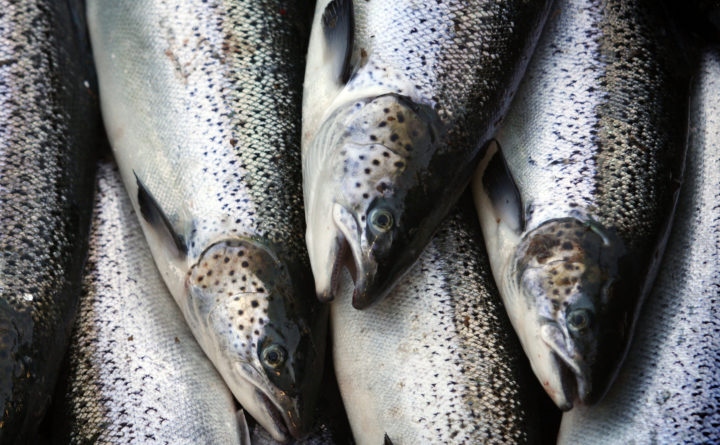 Report: U.K. firm wants to launch another Maine salmon farm, this one in Millinocket