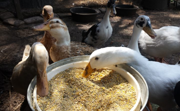 Bread Is Bad For Ducks Here S What Else You Need To Know About