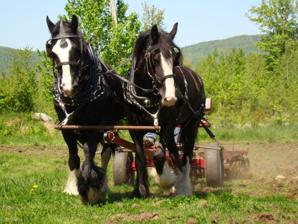 Having a large workhorse means knowing how to care for a draft horse