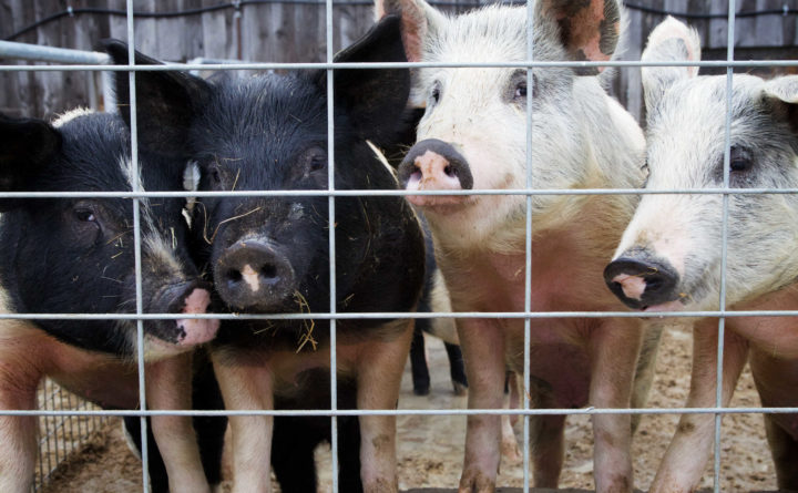 Proposed changes to federal pork processing rules could loosen food safety standards