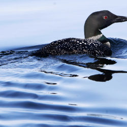 New England sees record number of loons in several states