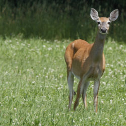 4 Vermont men charged with deer poaching
