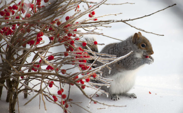 How to identify the wildlife sounds you may hear in the Maine woods this winter
