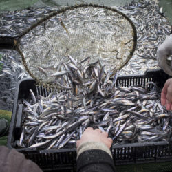 Smelts, sought by Maine ice fishermen, continue to rebound