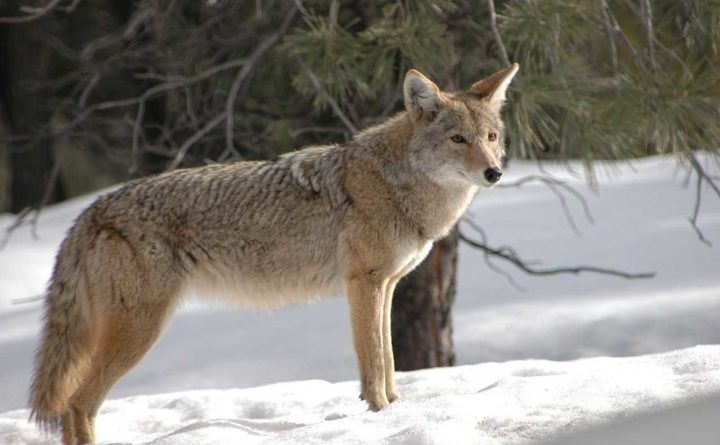Hero dad strangles coyote after it attacks his toddler