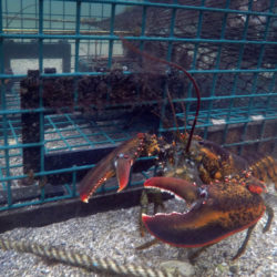 Maine to freeze expanding lobster bait fishery for 2 years