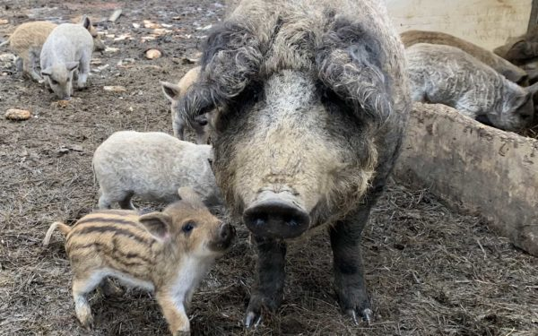 Meet the surviving sows from the embattled Swanville...