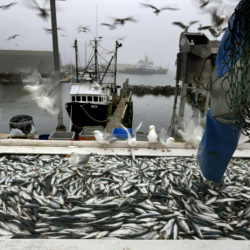 Herring fishermen looking at another cutback in quota